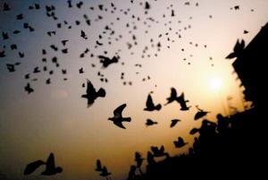 放飞梦想鸽子简笔画-放飞理想的养鸽人图片